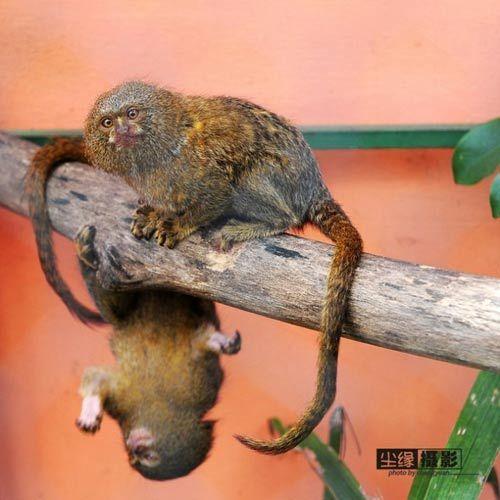 巧遇世上最小侏儒绒猴