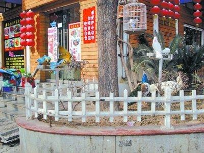 武汉/孔雀就养在临街的小院中图/武汉晚报