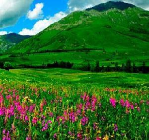喀纳斯景区赏百种野花