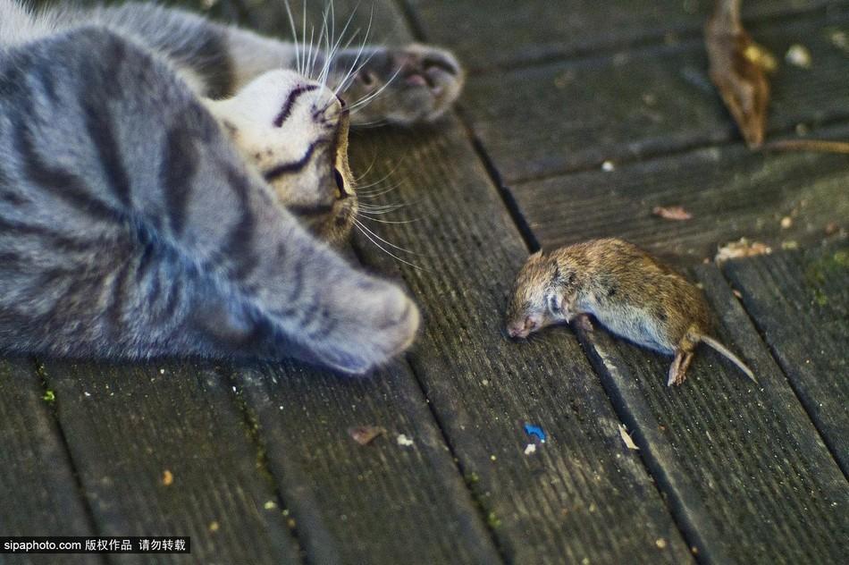 鼠上演现实版 猫和老鼠图片