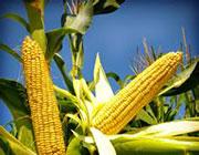 全膜双垄沟播玉米为主导产业的旱作特色产业