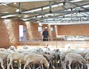 以养殖业(养羊、养猪)为主导产业的特色养殖业