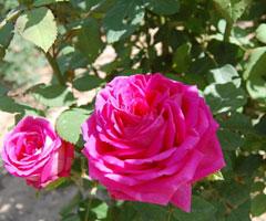 兰州特产―苦水玫瑰