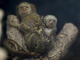 小侏狨和妈妈
