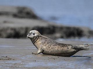 斑海豹洄游辽东湾 成群结队在滩涂休息