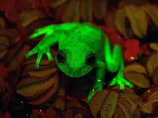 """神奇!世界上第一种""""荧光蛙""""现身"""
