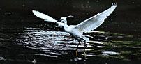 福州:白鹭飞舞
