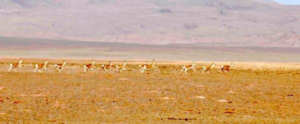 甘肃肃北草原成野生动物的家园