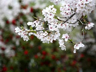 绍兴瓜渚湖边樱花旺