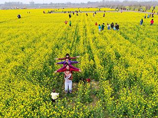 济南村民开放500亩油菜花田 邀市民免费赏花