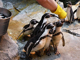 莫斯科动物园里的洪堡企鹅