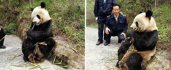 陕西洋县现野生大熊猫 淡定吃竹笋任游客拍照