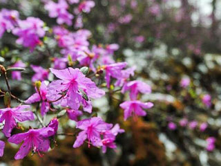 阿尔山杜鹃雪中盛开