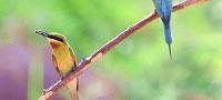 """寸金之地养""""野鸟"""":厦门五缘湾栗喉蜂虎自然保护区"""