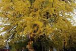 陕西西安:千年古树再迎新秋