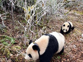 大熊猫接受第二阶段野化培训