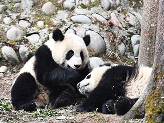 """探访中国大熊猫保护研究中心""""熊猫幼儿园"""""""