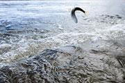 青海一条鱼:从濒临灭绝到鱼翔浅底