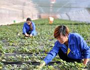 河北青县:合作社助农增收