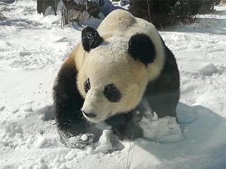 大熊猫雪地撒欢享受雪天乐趣