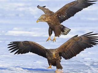 吉林珲春敬信湿地上演猛禽冰面争食互不相让