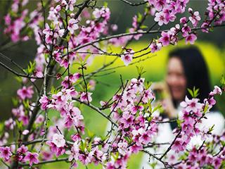春暖花开迎客来