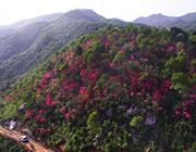 安徽金寨:山野开遍映山红