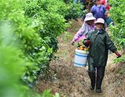 广西武鸣:种植沃柑助增收
