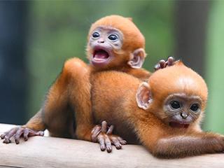 广州:珍稀黑叶猴诞下龙凤胎(组图)
