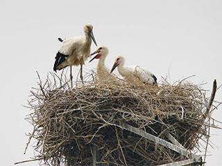 东方白鹳在河北沿海湿地筑巢育雏