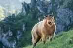 陕西秦岭羚牛种群数量稳中有增
