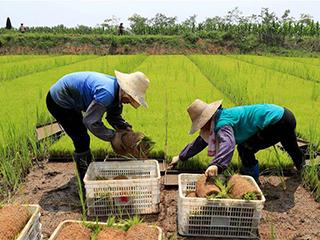 规模化育秧助农增收