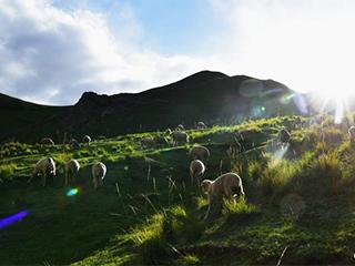 七月祁连山绿波荡漾牛羊成群