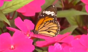 与蝴蝶相伴 这个小伙的兼职不一般