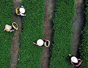 福建玛坑乡:茶旅结合 助农增收