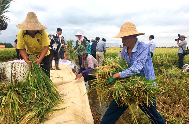 """""""超级杂交水稻""""个旧百亩示范片平均亩产创新高"""