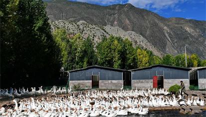 西藏昌都:生态鹅养殖助力脱贫