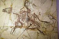 孔子鸟化石