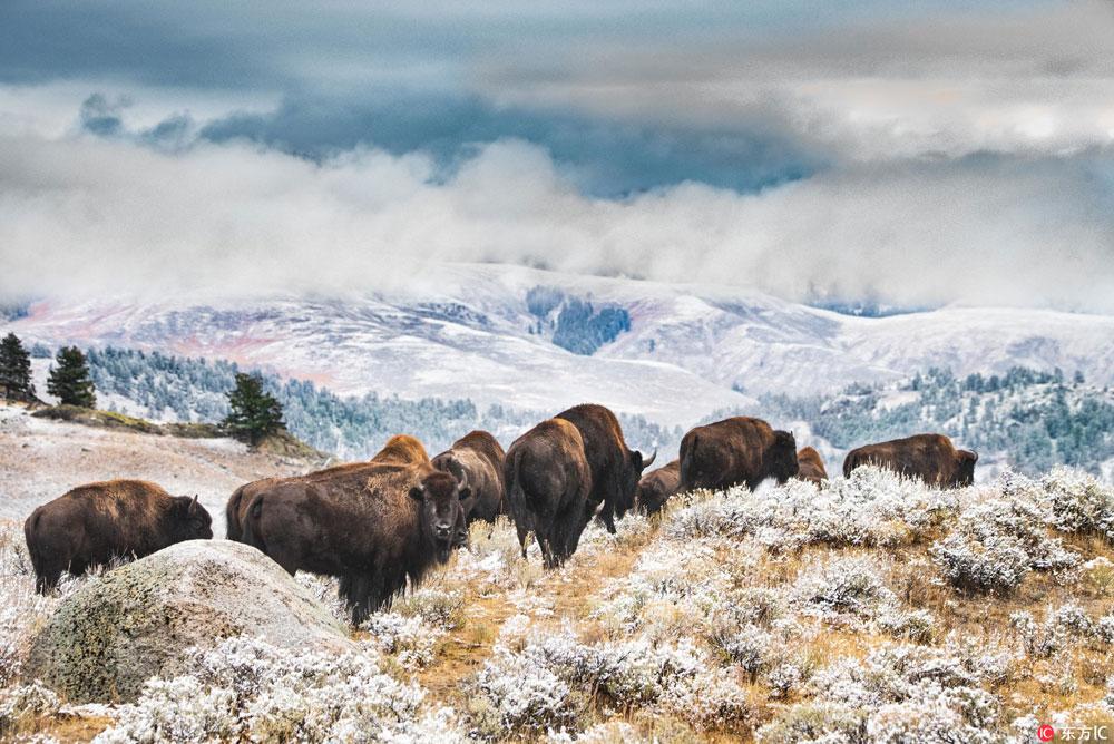 实拍美国野牛雪后漫步 踏霜踩雪宛如美丽画卷