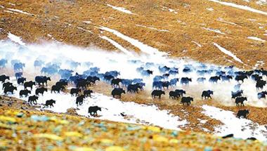 野牦牛群觅食肃北草原