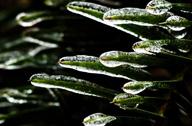 植物冰挂晶莹剔透似琉璃