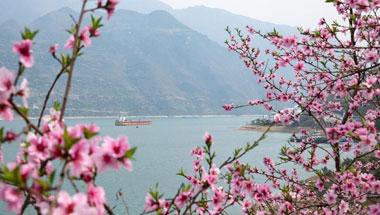 三峡春日桃花红