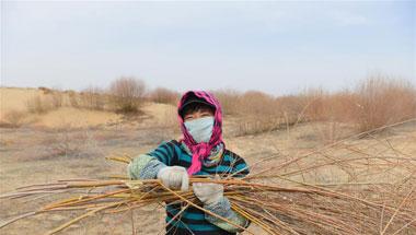 沙海现绿洲 柳苗助增收