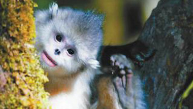中国为滇金丝猴建立全境保护网络