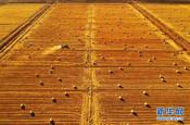 渤海湾畔稻草香