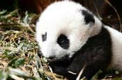 """四川卧龙:野外产仔大熊猫""""乔乔""""及幼仔成功回捕"""