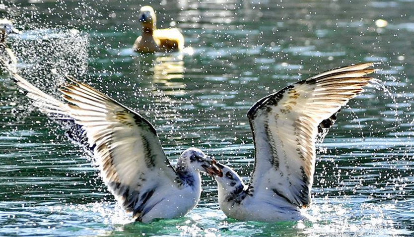 拉萨:龙王潭公园鸟尽欢