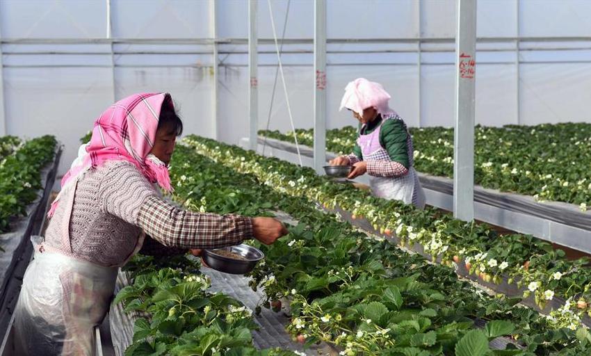 草莓育苗基地带动农民增收