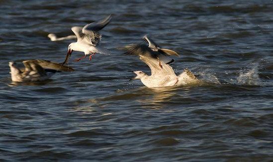 """精致兰州丨黄河之滨也很美 引得候鸟向""""兰""""飞"""