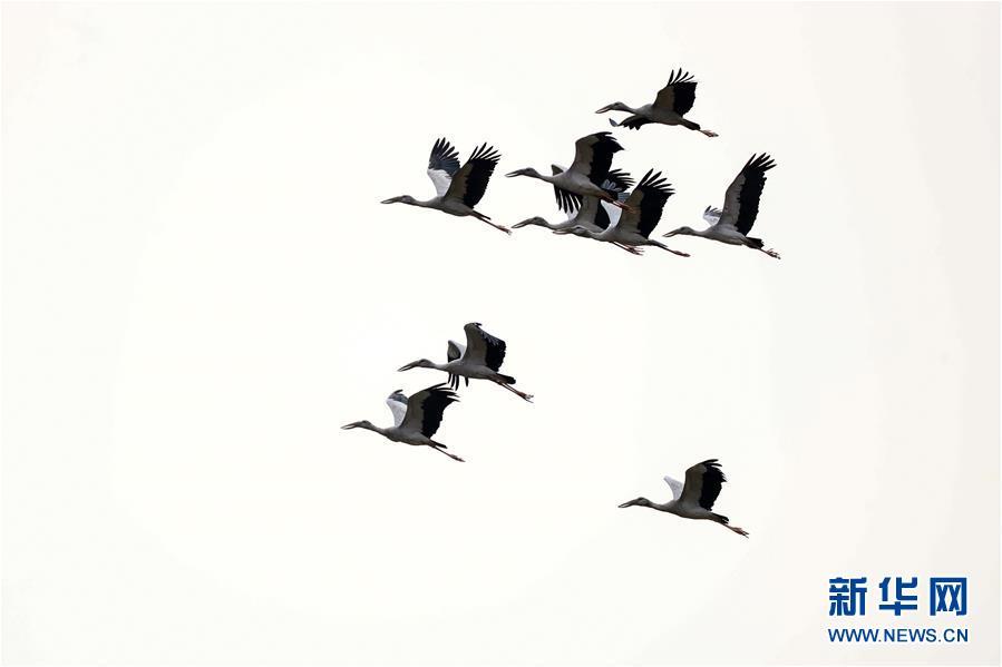 贵州黔西:群鸟舞春